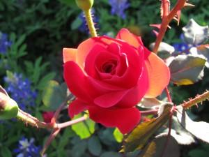 Abilene Texas Rose